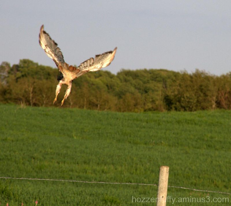Fly Away Hawk