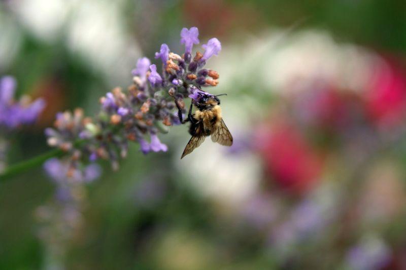 A bumblebee buzzing around a summer garden