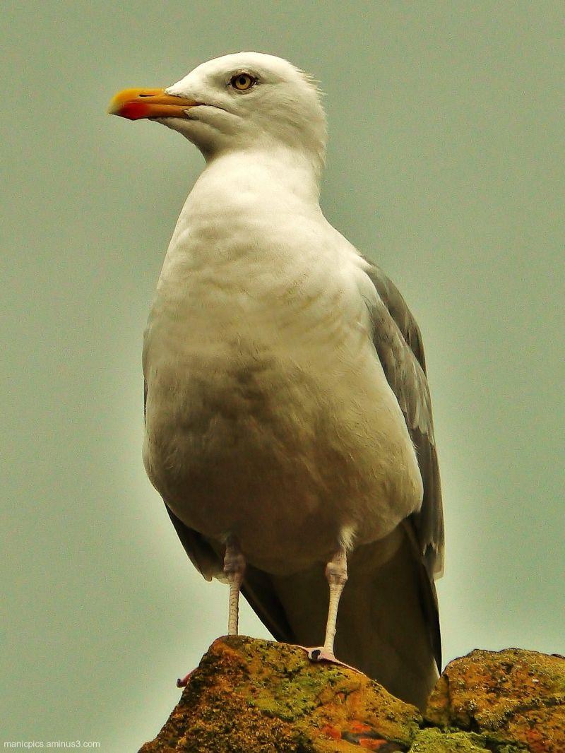 A Bond Gull