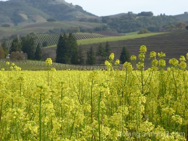 mustard in wine country
