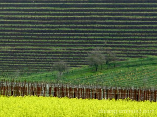 mustard in wine country take 2