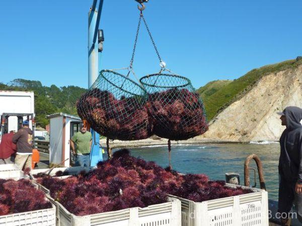 Unloading sea urchins