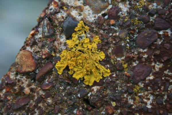 Maine Lichen