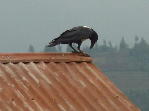 Raven on a Hot Tin Roof