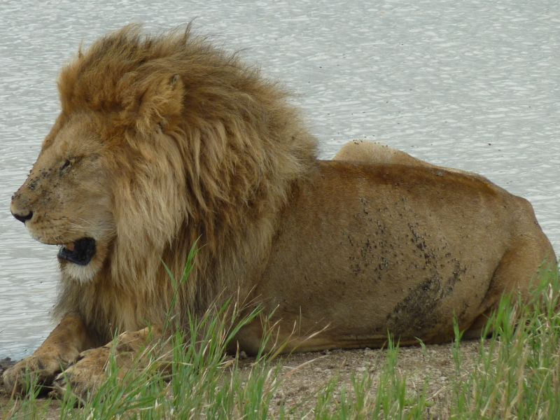 Lounging Lion (Serengeti 2/10)