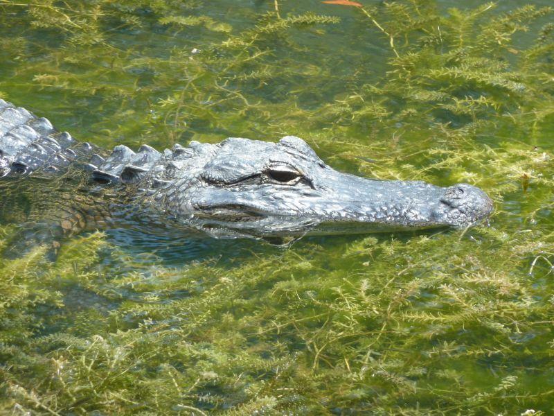 Florida Croc