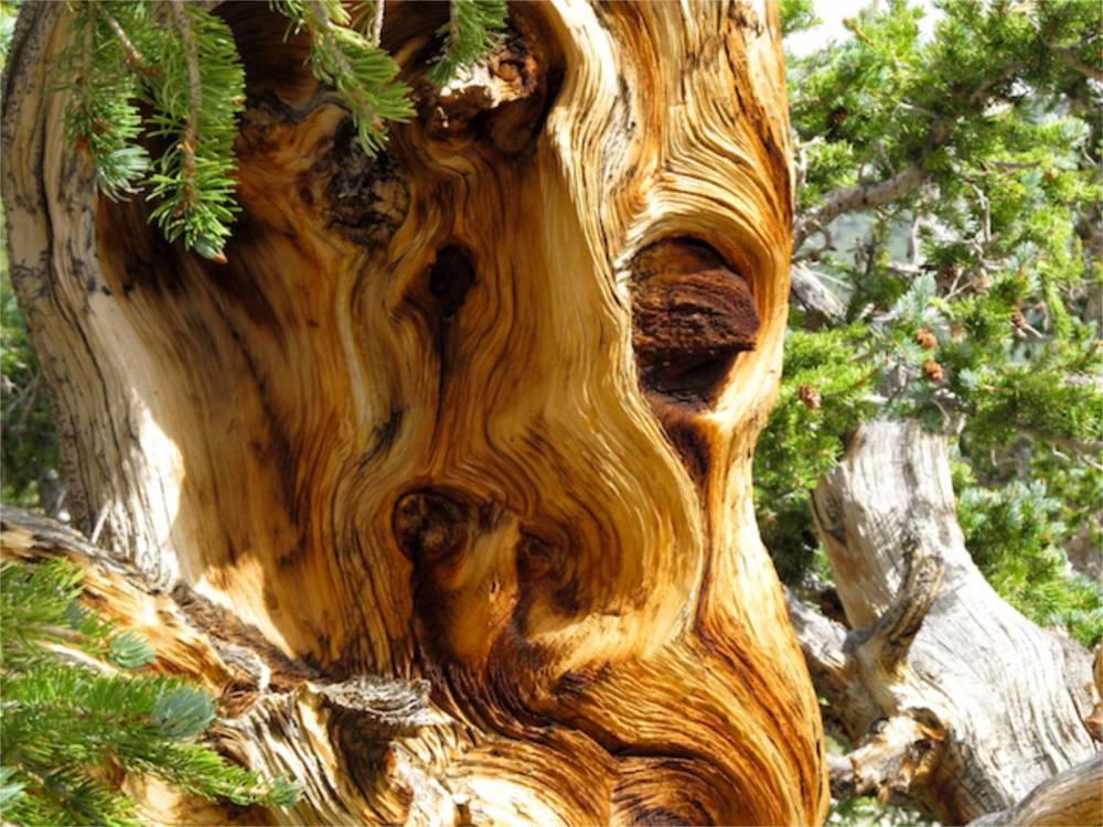 Bristle Cone Pine Detail