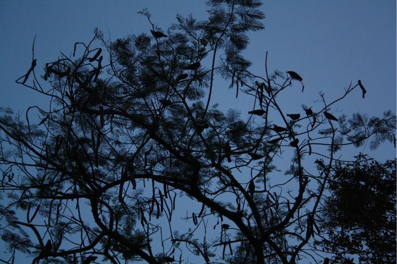 Crows on Drum Stick Tree..
