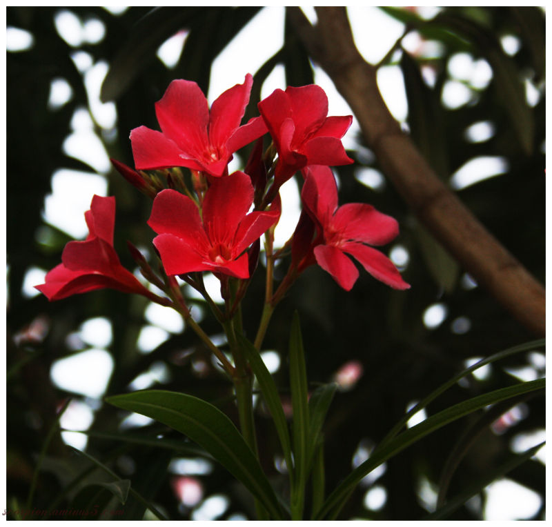 Red Oleander ?  .. or is it not ?