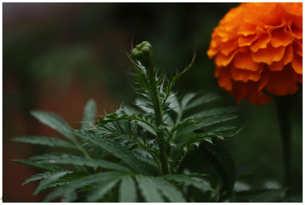 Marigold ....