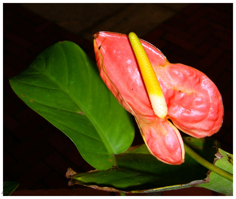 Flamingo Flower...