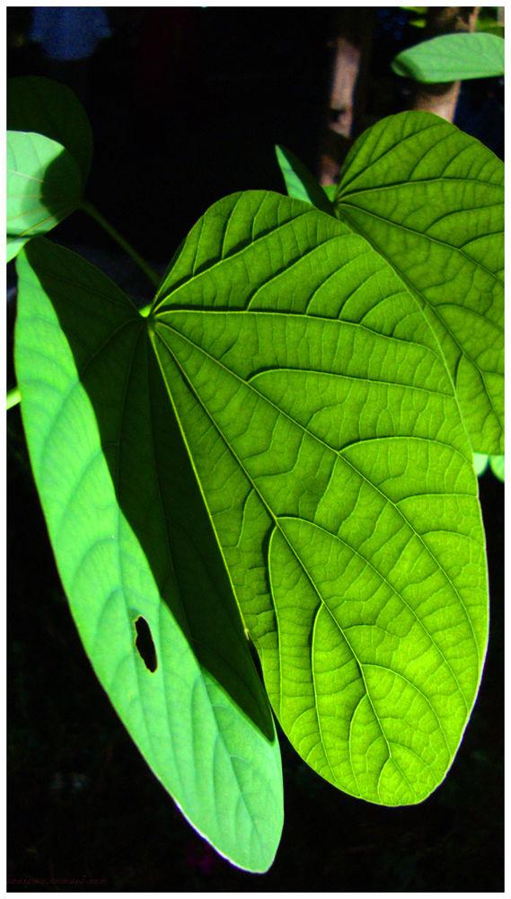 Leaf of Bauhinia Plant