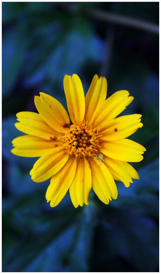 Yellow Daisy?