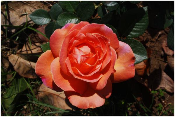 Orange Rose, Chandigarh Rose Garden