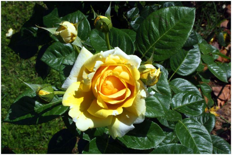 Yellow Rose @ Chandigarh Rose Garden
