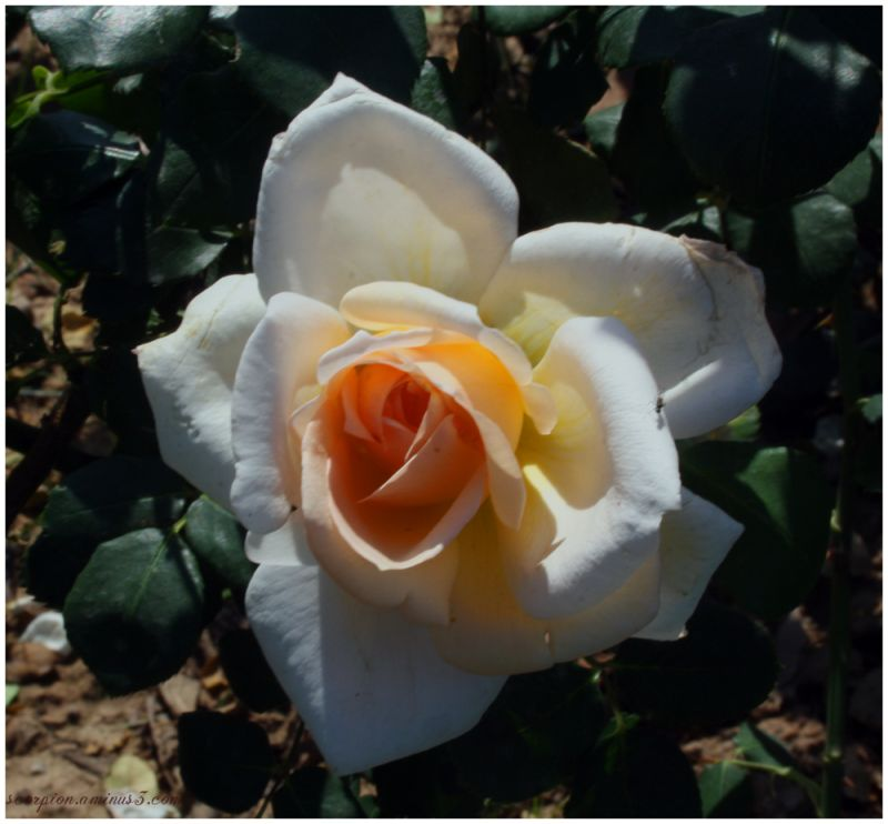 Yellowish White Rose @ Chandigarh Rose Garden
