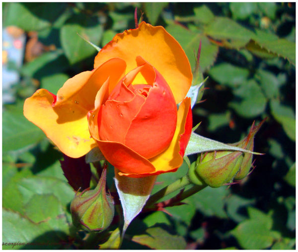 Blossoming Rose Bud...