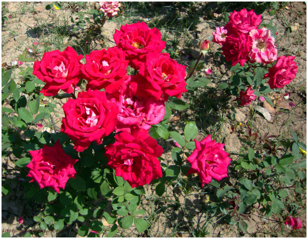Bunch of Roses...