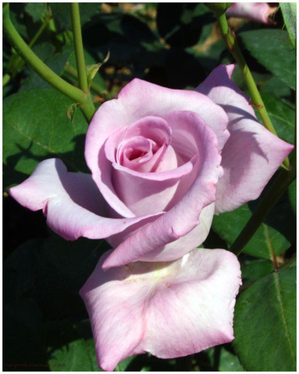 Light Purple Rose @ Chandigarh Rose Garden...