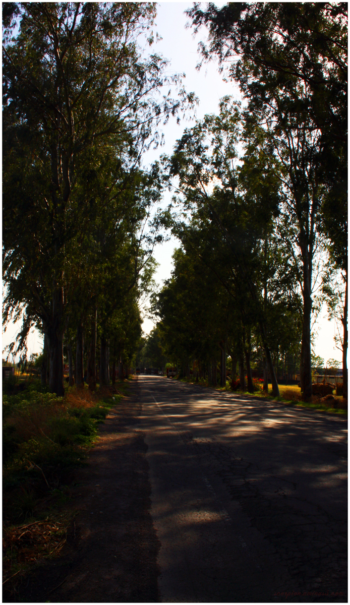 Tree Lined Avenue en route to Manali