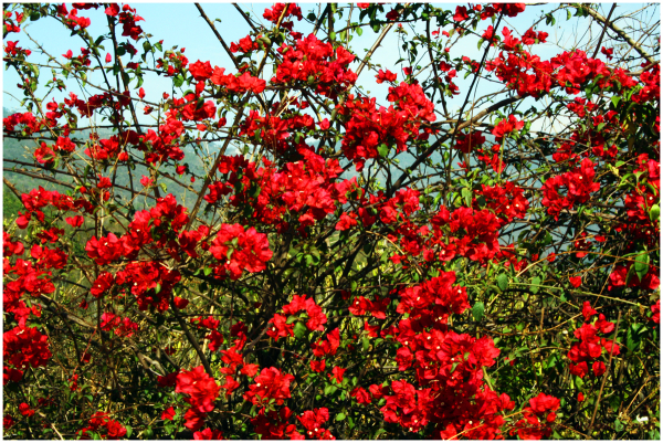 Red flowers on the roadside...