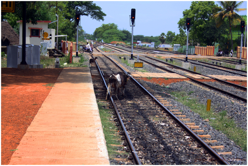 At a railway crossing...He knows when to cross...