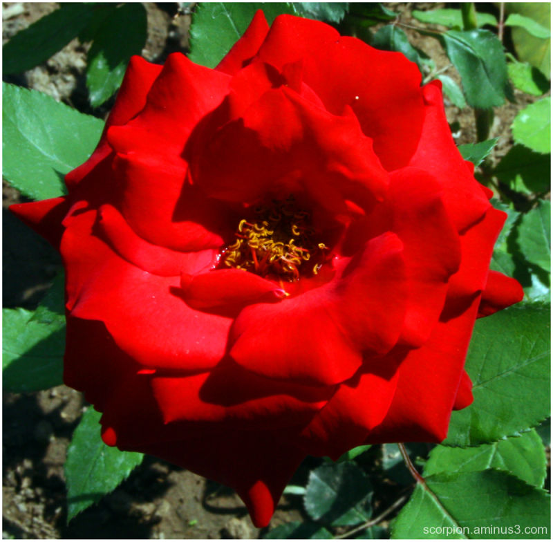 Yet another rose...