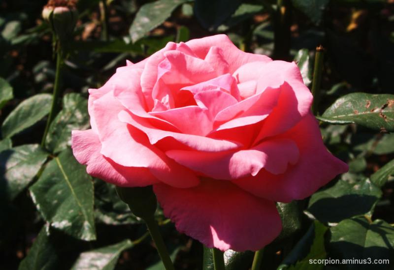 Pink Rose @ Chandigarh Rose Garden...