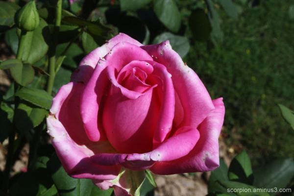 Rose @ Chandigarh Rose Garden...
