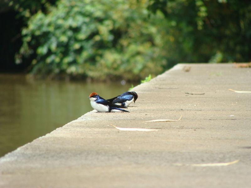 Wiretailed Swallow(Hirundo smithii)