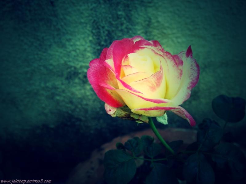 A Rose Starting afresh...