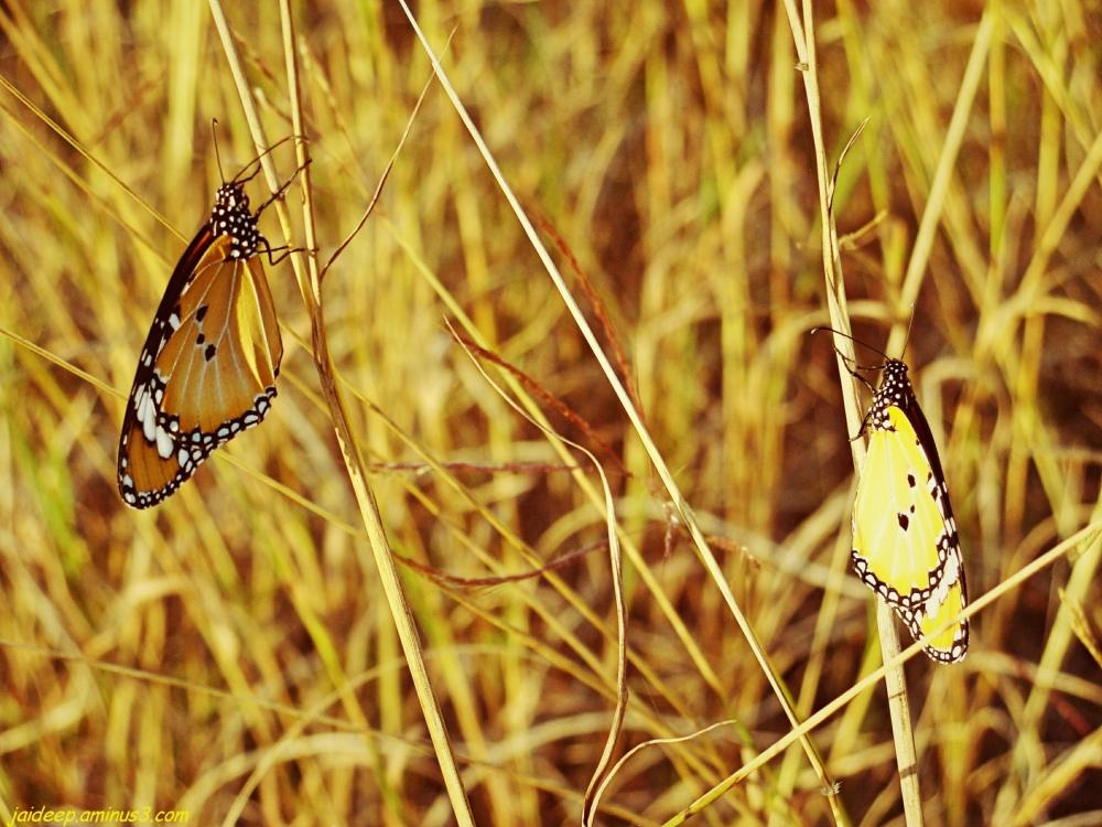 Butterflies on Grass