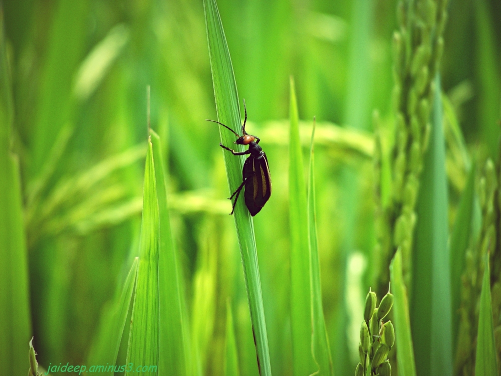 Insect on Paddy