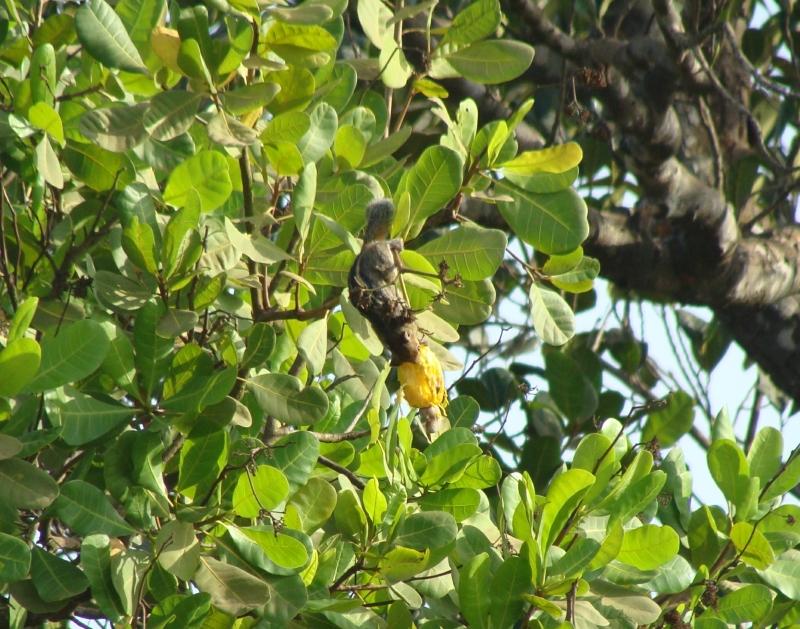 Squirrel cashew kaju