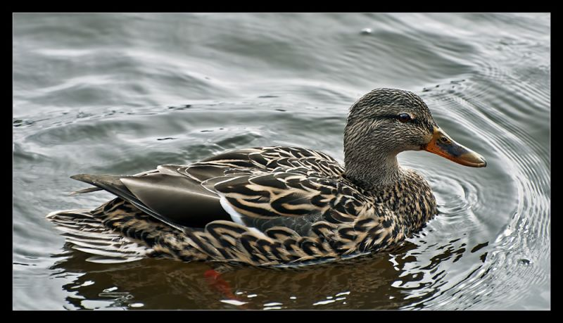Your average duck