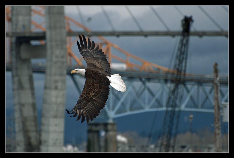 Urban Eagle