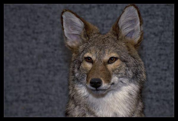 Coyote (stuffed that is)