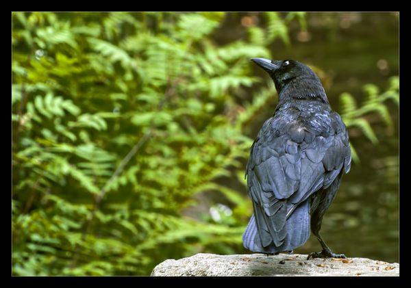 The curious crow