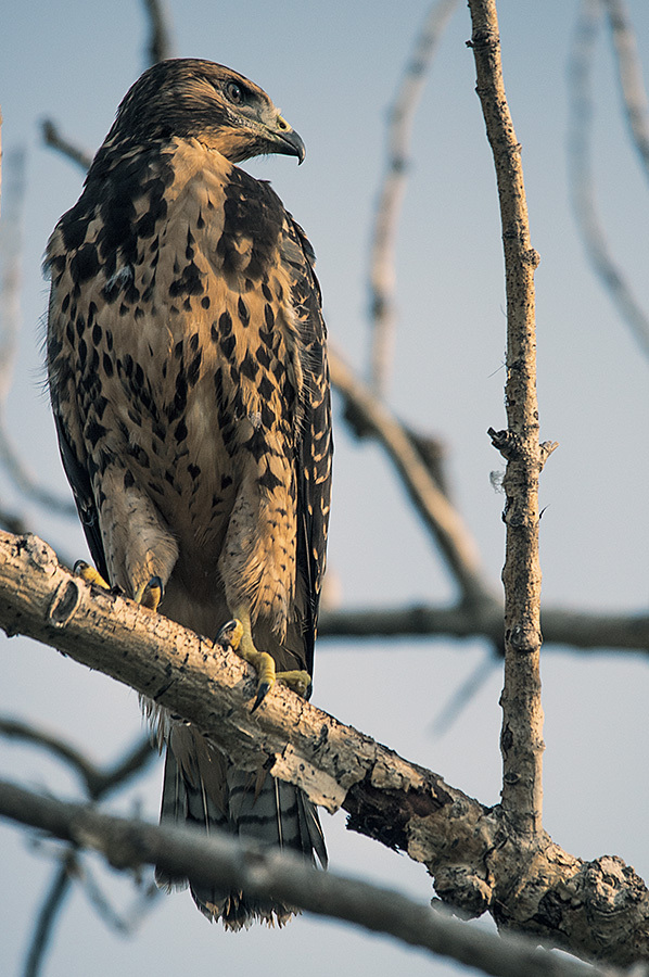 Young Redtail at sunrise