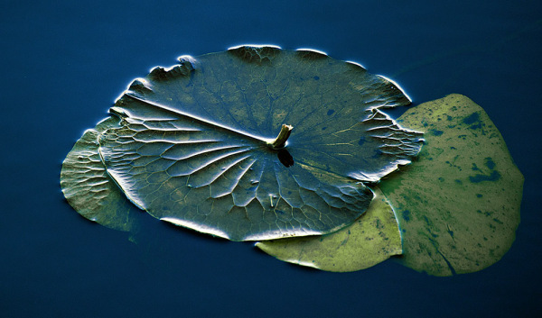 Lilly pad 2