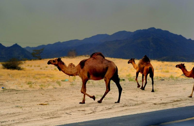 Camel crossing the road in rural area