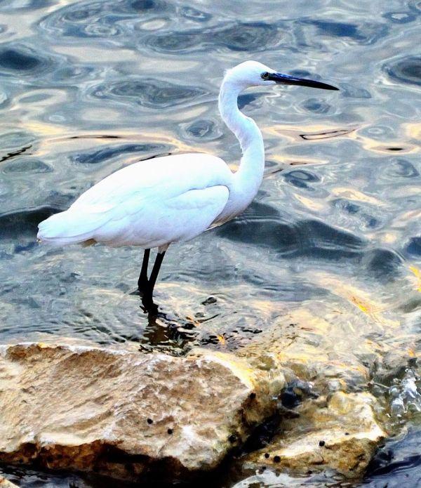 Bird of the Nile