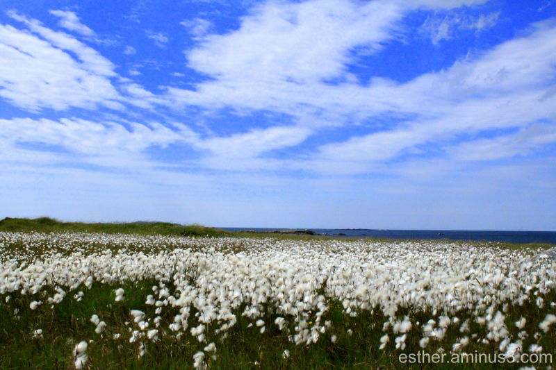 Bog Cotton with views of Inis Bofin Connemara June