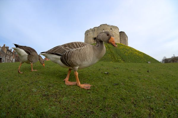 Greylag geese at Cliffords Tower, York