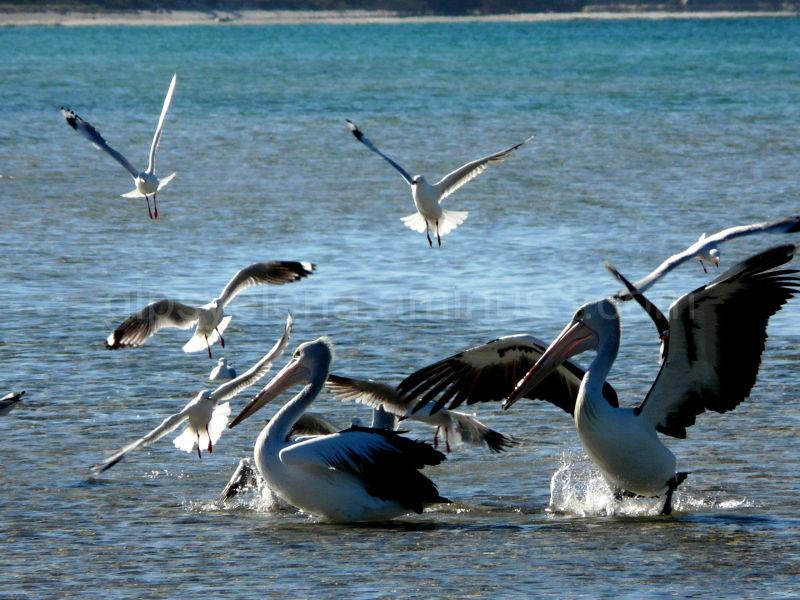 Pelicans..