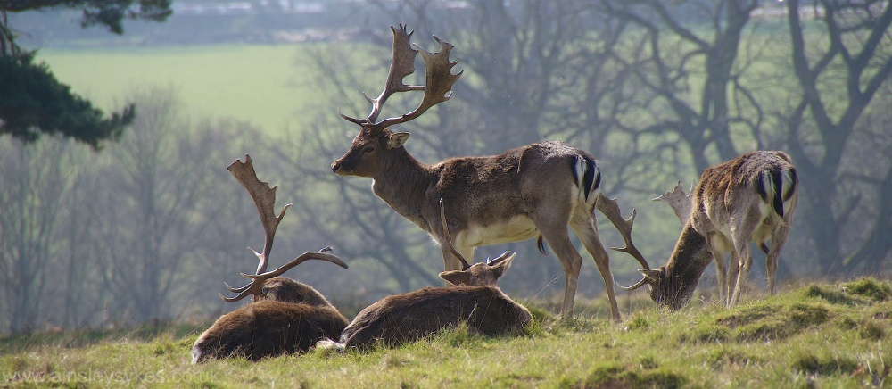calke Abbey, deer, stag, animals, wildlife, derbys