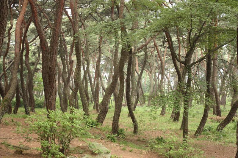 Pine @ Gyeongju