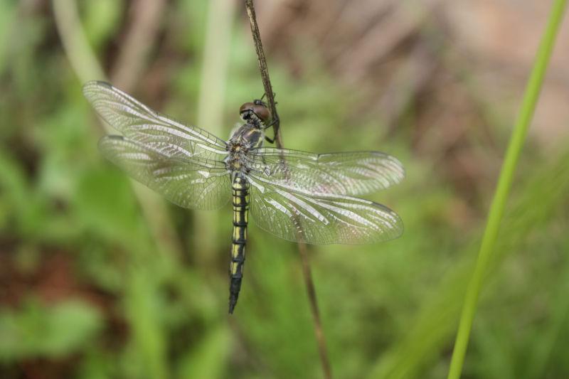 dragonfly 3 @ hwajeong