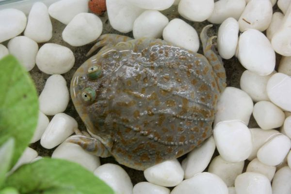 funny frog @ sindang