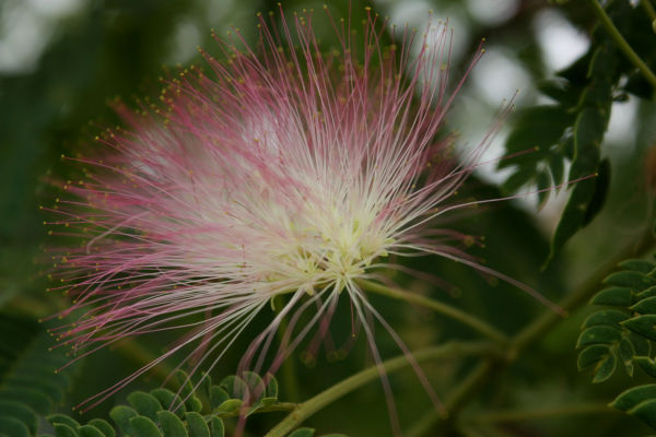 pink wisps @ nanji